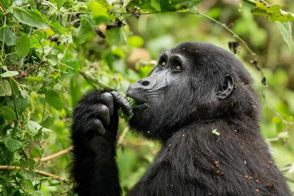 Uganda gorilla  by Justin Raycraft