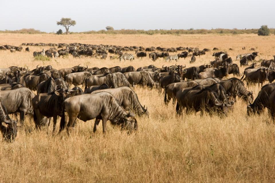 Mara wildebeest  by Marcel Oosterwijk