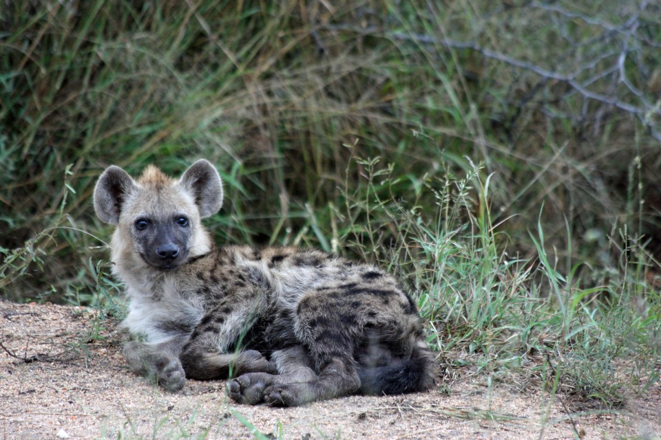 Hyena in Greater Kruger  by yeowatzup