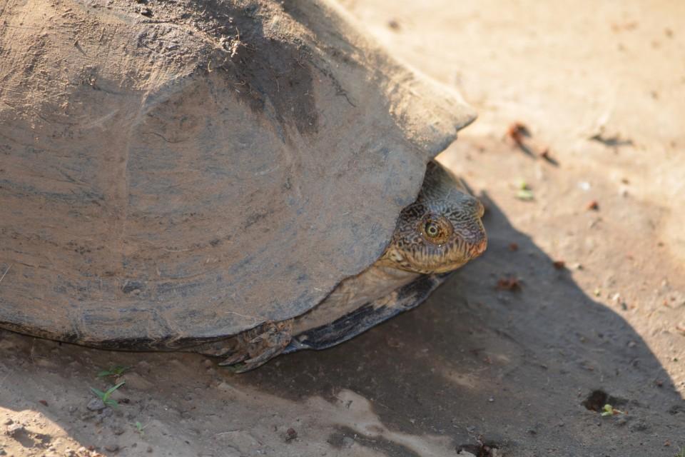 Leopard Tortoise  by Stephanie Watson