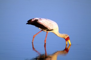 Yellow-billed Stork by Flowcomm
