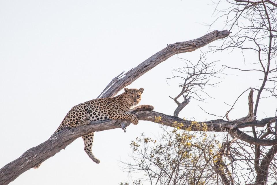 Delta leopard