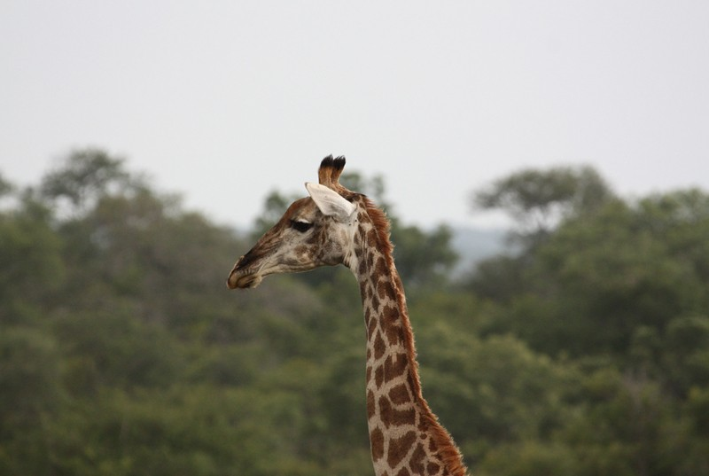 Thornybush giraffe  by Joost Rooijmans