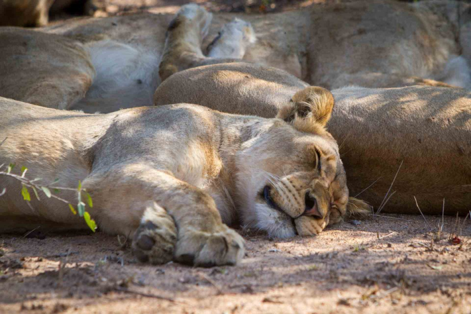 Thornybush lions sleeping
