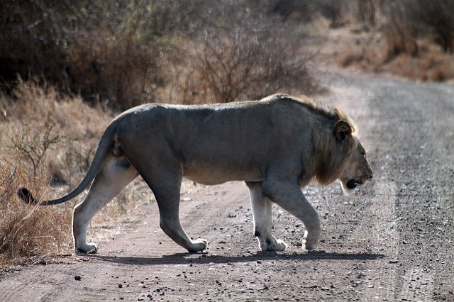 Lion in Kruger  by Flowcomm