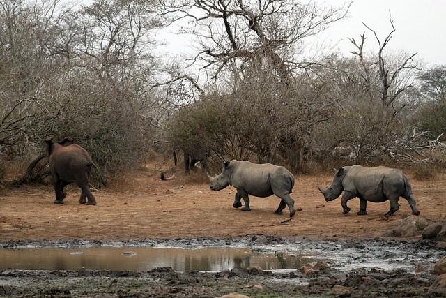Rhino in Kruger  by Flowcomm