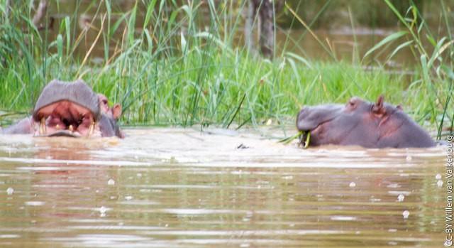 Hippo in iSimangaliso Wetland Park  by Willem van Valkenburg