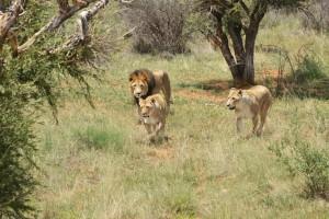 Kruger Big Five lions by Matt Freer