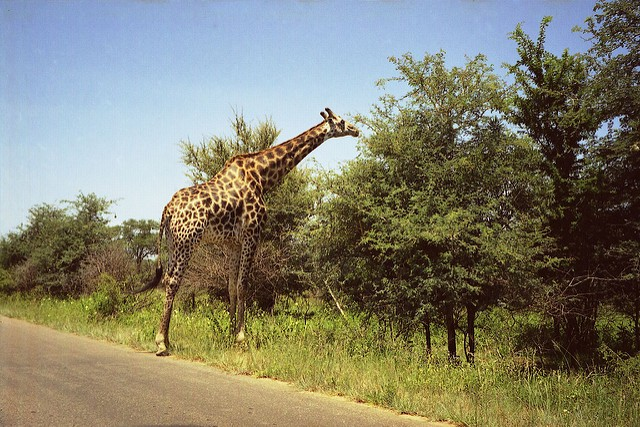 Giraffe in Kruger  by Chris Eason