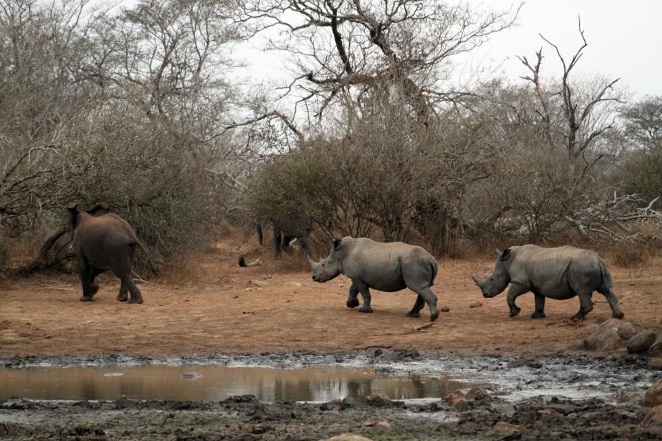 Rhino following Nellie  by Flowcomm