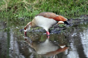 Egyptian Goose by Flowcomm