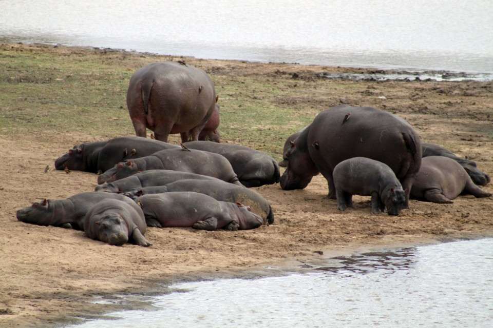 Hippo family  by Flowcomm
