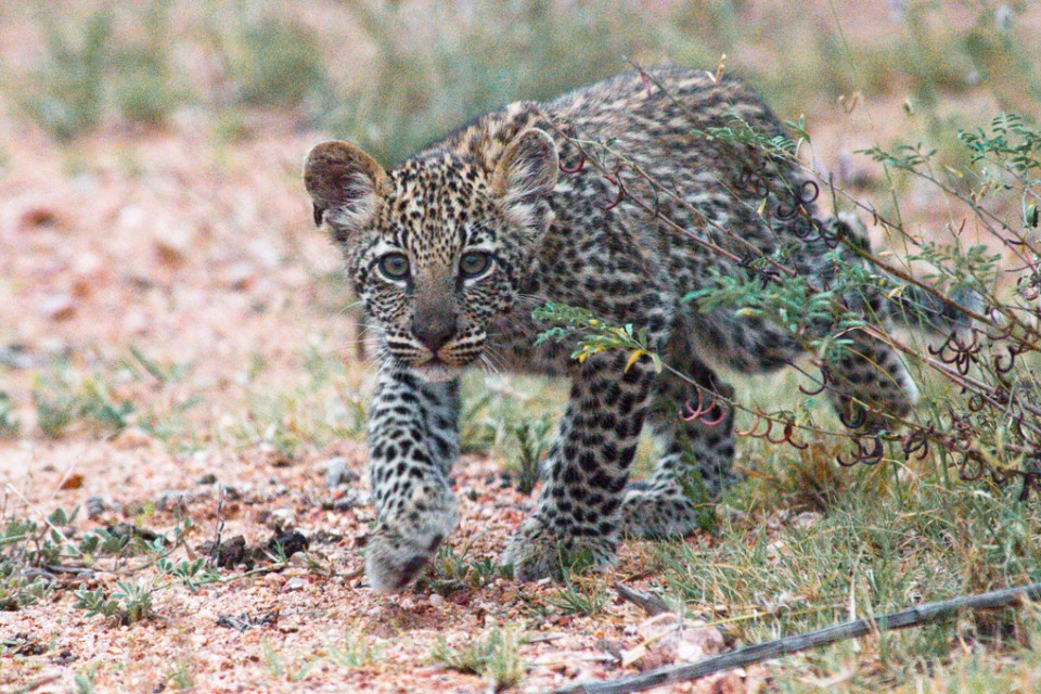 Stalking leopard cub  by Chris Eason