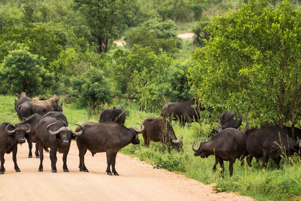 Buffalo in Kruger  by Michael Jansen