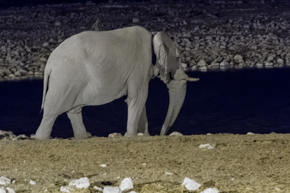 Elephant in Etosha  by Dconvertini