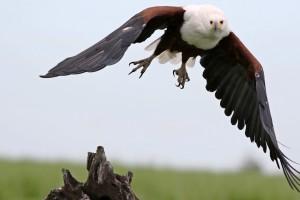 Fish Eagle by Derek Keats