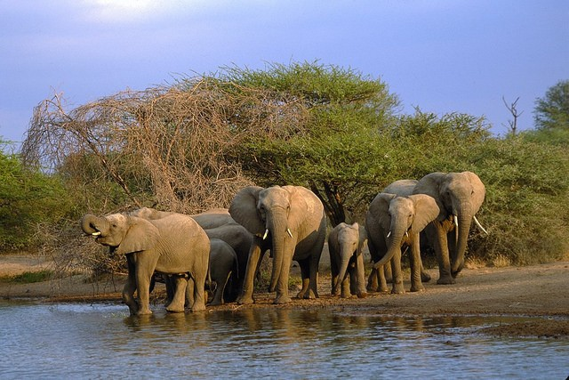 Elephant in Kruger  by Nathan Hughes Hamilton