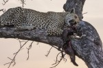 Leopard with Honey Badger kill