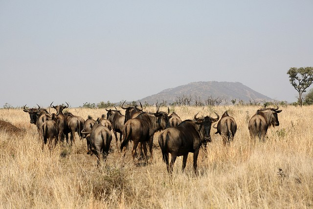 Buffalo in Kruger  by Flowcomm