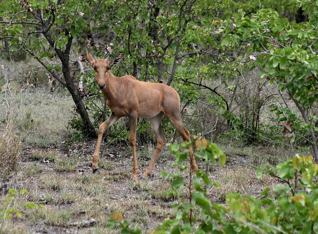 Tsessebe in Kruger  by Abspires40
