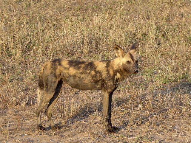 Wild Dog in Kruger Park  by Regina Hart