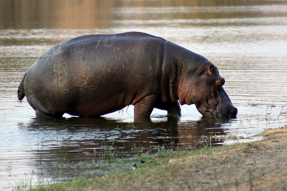 Hippo in Kruger  by Flowcomm