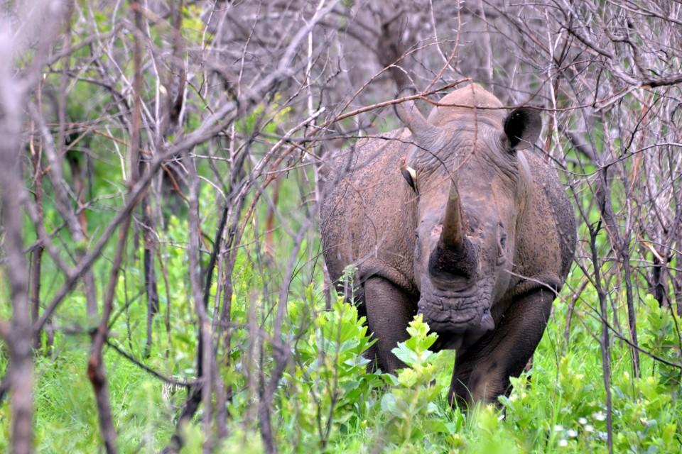 White Rhino, Hluhluwe iMfolozi Park  by Michael Jansen