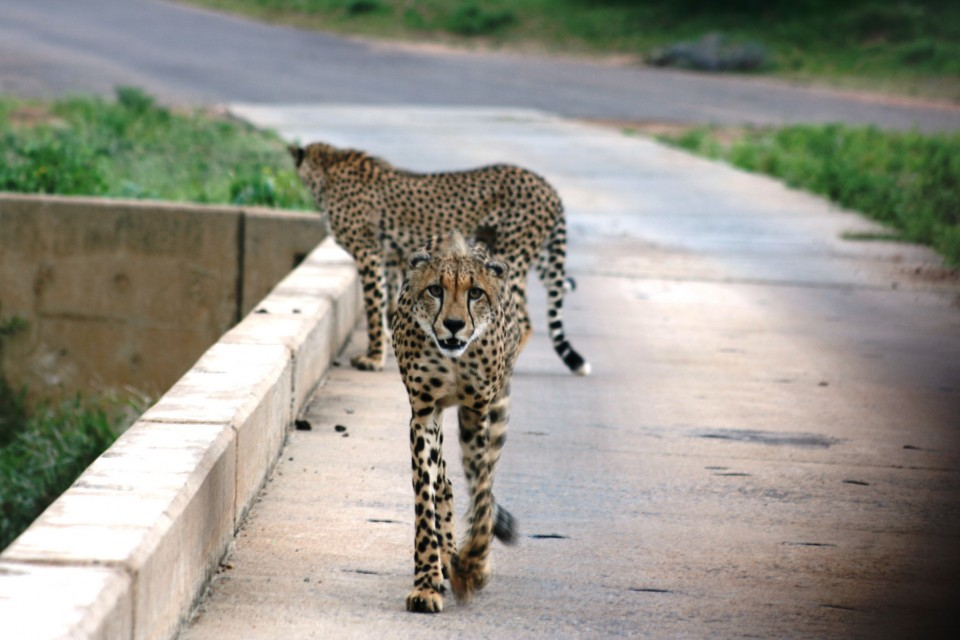 Big Cats in Kruger  by Abspires40