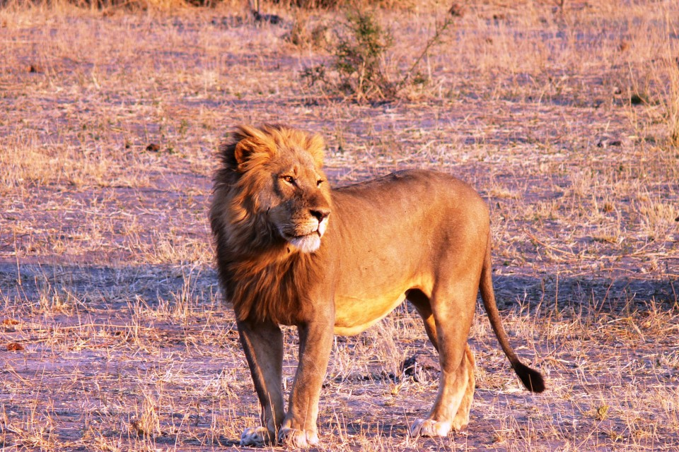 Lion at Sunset, Kruger  by Violator1