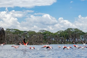 Flamingos on Lake Naivasha by Nina R