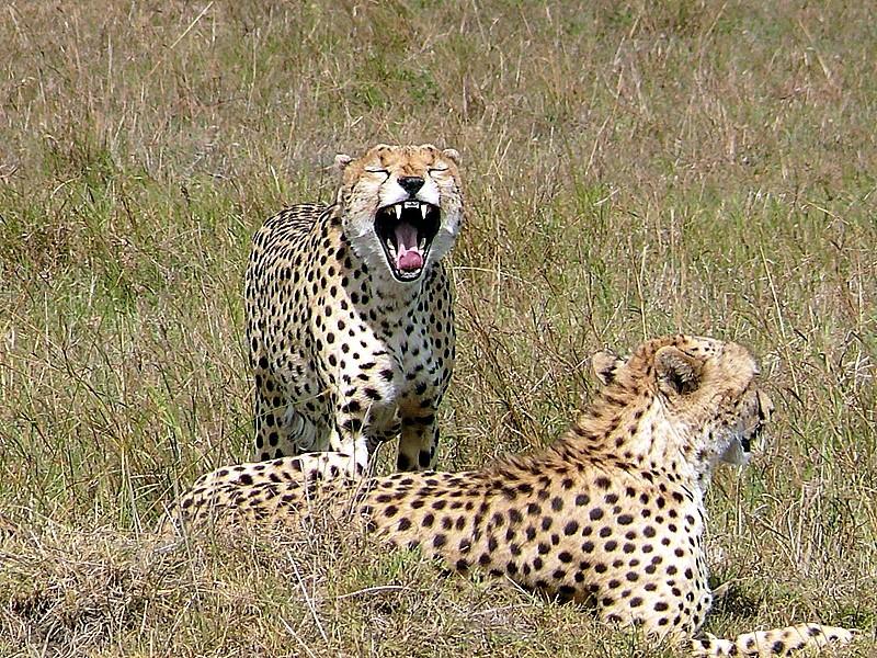 Cheetahs in the Mara  by Mara 1