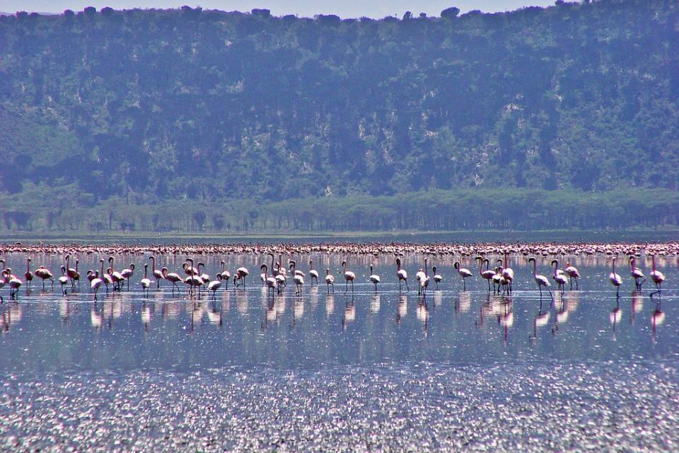 Flamingos on Lake Nakuru  by Tambako The Jaguar