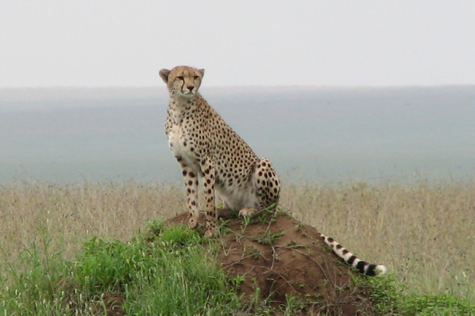 Cheetah in the Serengeti  by NH53