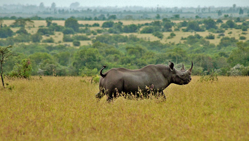 Black rhino in Ol Pejeta  by Jeffrey Evans