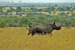 Black rhino in Ol Pejeta by Jeffrey Evans
