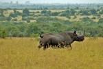 Black rhino in Ol Pejeta