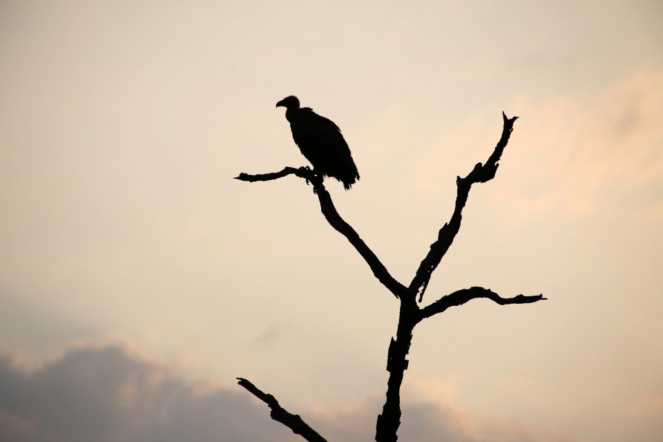 Vulture in Kruger  by Flowcomm