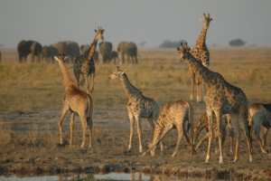 Chobe giraffes