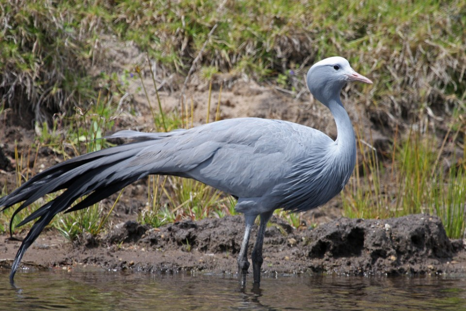 Blue Crane at the private game reserve  by Brian Snelson
