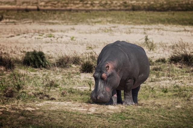 iSimangaliso hippo  by Steve Slater
