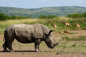Hluhluwe rhino by Vaiz Ha