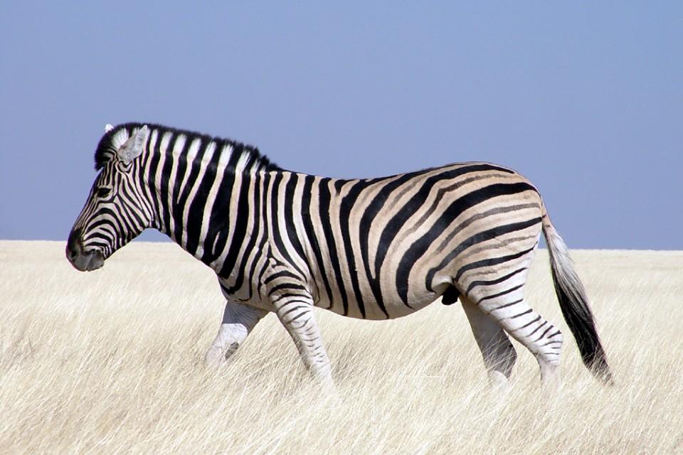 Etosha zebra  by Damien du Toit
