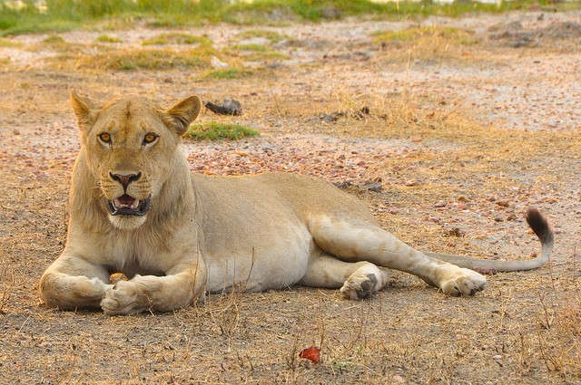 South Luangwa lion  by Laura Kay