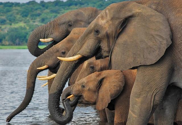 Chobe elephants  by Caroline Granycome