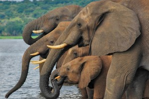 Chobe elephants by Caroline Granycome