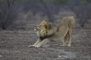 Etosha lion by Yathin