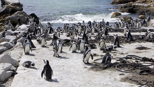 Stony Point penguins