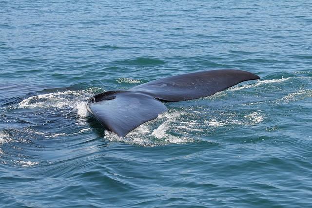 Hermanus whale  by Jon Mountjoy