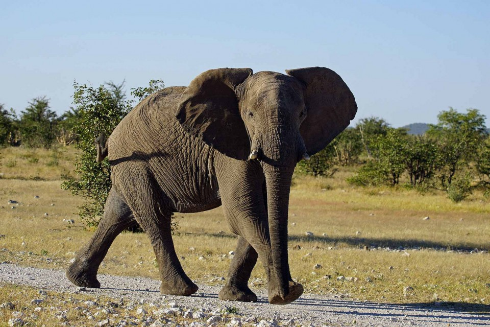 Etosha elephant  by Heribert Bechen