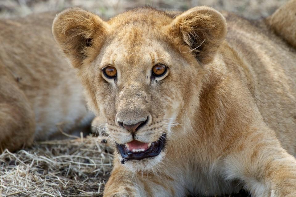 Serengeti cub  by Richard Toller